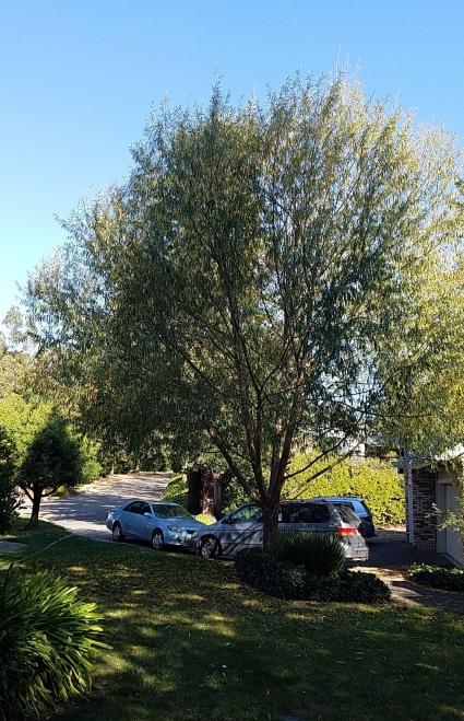 aus-tree.jpg