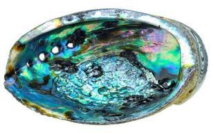 Abalone 2