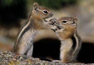 2 G mantled squirrels