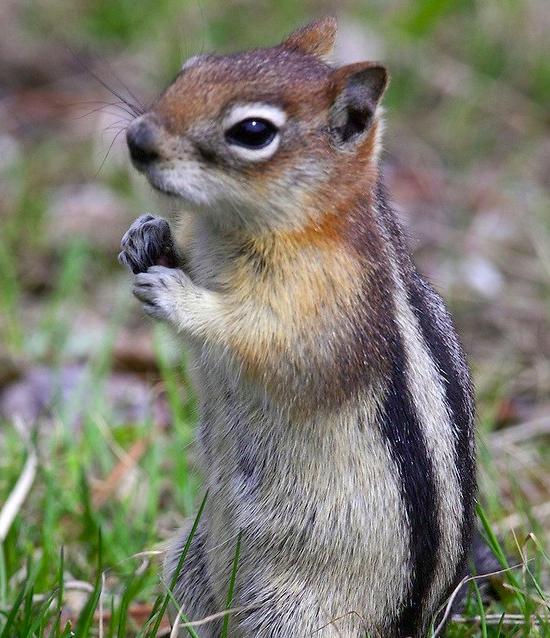 gm-ground-squirrel 4