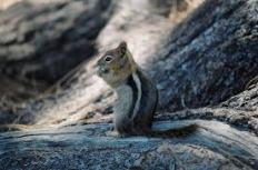golden mantled squirrel 3