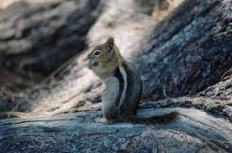 golden mantled squirrel 3