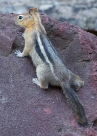 Golden mantled squirrel