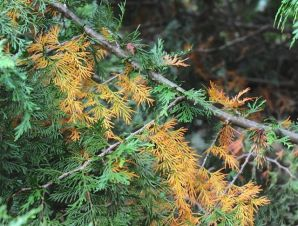 brown redwood needles