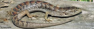 alligator lizard 2
