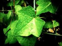 rain ivy small