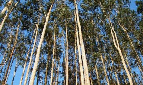 Eucalyptus-Grove