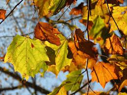 sycamore-leaves.jpg