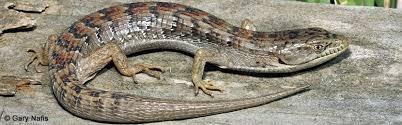 alligator lizard 2