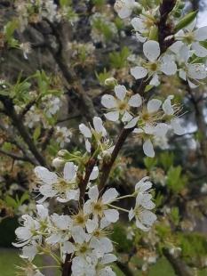 plum tree 1b