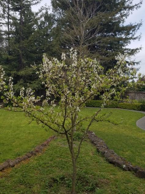 plum tree 3b