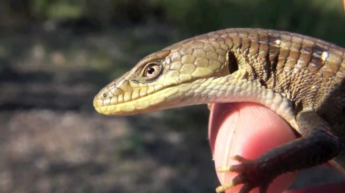 aligator lizard 3