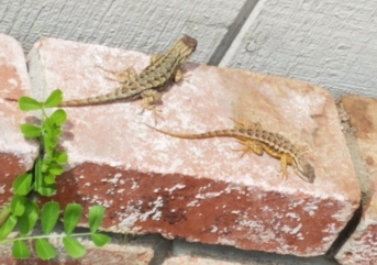 Lizards 2 on bricks
