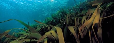 seaweed-ribbon-.jpg