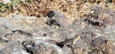 aligator lizard 5 r cropped
