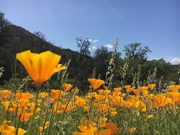 California-poppies 2