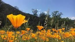 california-poppies-2-.jpg