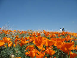 California-poppies 3