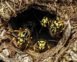 yellow jacket nest entrance