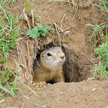 gopher-in-hole
