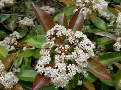 hedge bloom 1