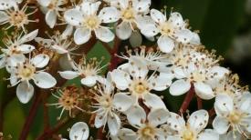 hedge bloom 2