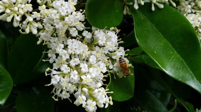 hedge flower w bee
