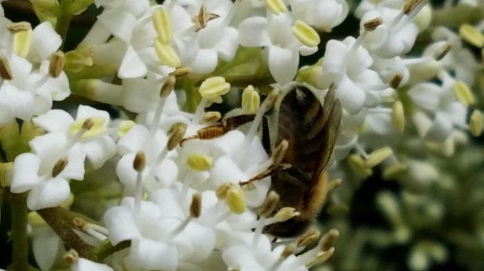 hedge flower w bee 2
