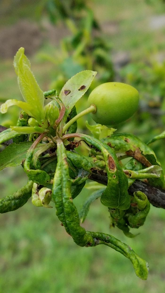 plum tree 4