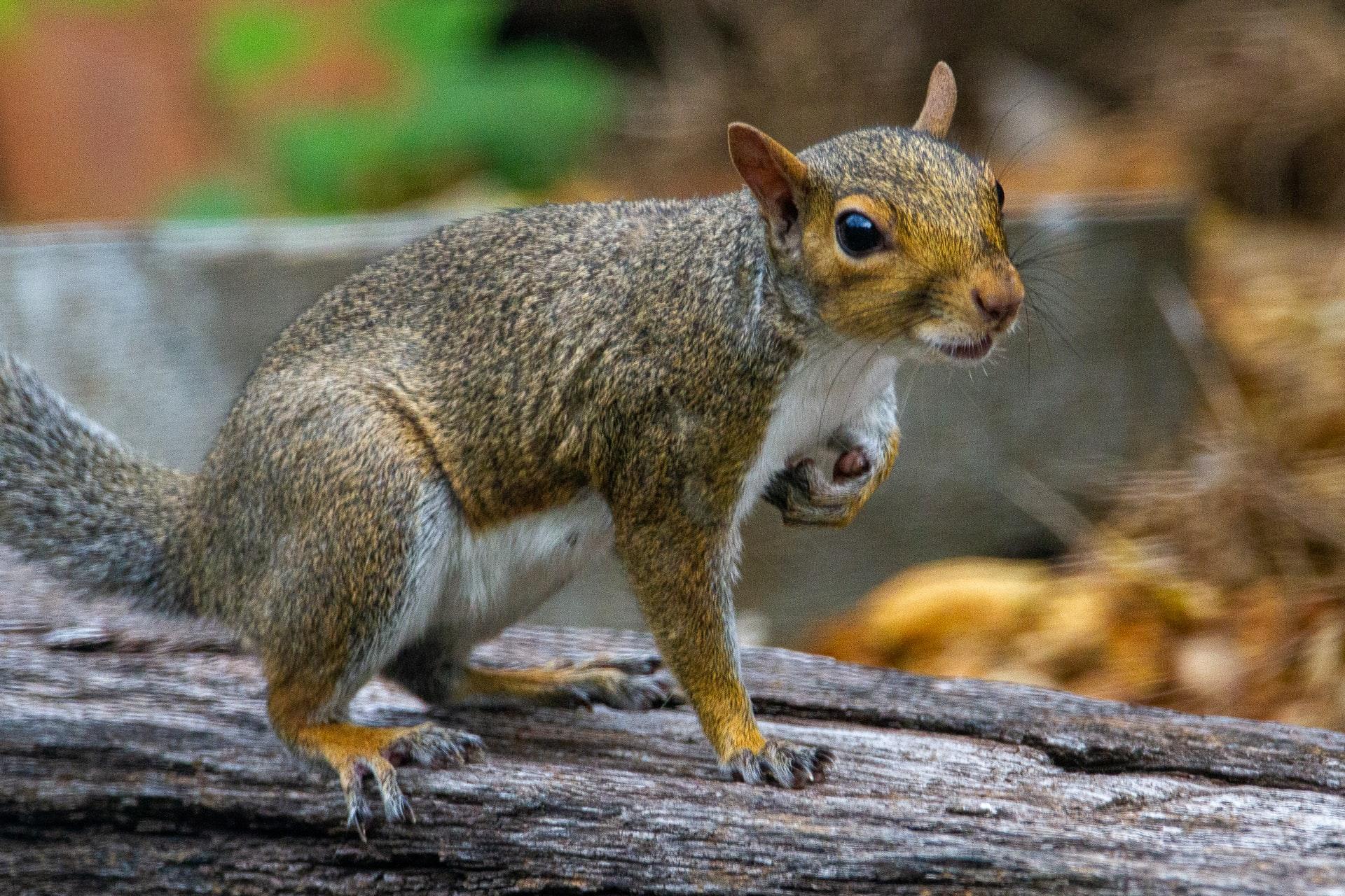 gry squirrel joshua-j-cotten